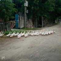 Wietnam_Ninh_Binh_kaczki, DSC_4707