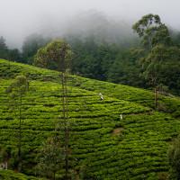 Sri_Lanka_zdjecia_plantacje_herbaty_Nuwara_Eliya, DSC_3945