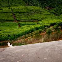 Sri_Lanka_zdjecia_plantacje_herbaty_Nuwara_Eliya, DSC_3950
