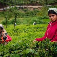 Sri_Lanka_zdjecia_plantacje_herbaty_Nuwara_Eliya, DSC_3951
