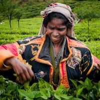 Sri_Lanka_zdjecia_plantacje_herbaty_Nuwara_Eliya, DSC_3953