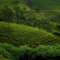 Sri_Lanka_zdjecia_plantacje_herbaty_Nuwara_Eliya, DSC_3968