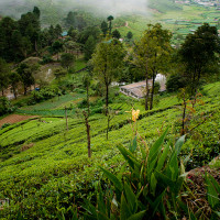 Sri_Lanka_zdjecia_plantacje_herbaty_Nuwara_Eliya, DSC_3980