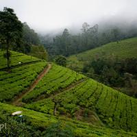 Sri_Lanka_zdjecia_plantacje_herbaty_Nuwara_Eliya, DSC_3982