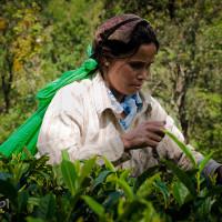 Sri_Lanka_zdjecia_plantacje_herbaty_Nuwara_Eliya, DSC_4067