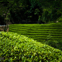 Indie_Kerala_Munnar_plantacje_herbaty, DSC_3733