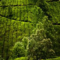 Indie_Kerala_Munnar_plantacje_herbaty, DSC_3800