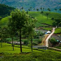 Indie_Kerala_Munnar_plantacje_herbaty, DSC_3865