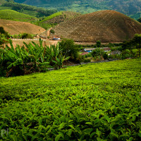 Indie_Kerala_Munnar_plantacje_herbaty, DSC_3873