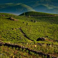 Indie_Kerala_Munnar_plantacje_herbaty, DSC_4219