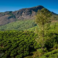 Indie_Kerala_Munnar_plantacje_herbaty, DSC_4291