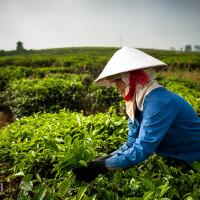 Vietnam, Bao Loc. Tea plantations, DSC_3322