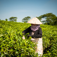 Vietnam, Bao Loc. Tea plantations, DSC_3392