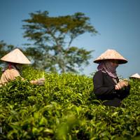 Vietnam, Bao Loc. Tea plantations, DSC_3458