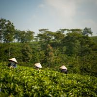 Vietnam, Bao Loc. Tea plantations, DSC_3473