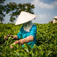 Vietnam, Bao Loc. Tea plantations, DSC_3505