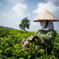 Vietnam, Bao Loc. Tea plantations, DSC_3519