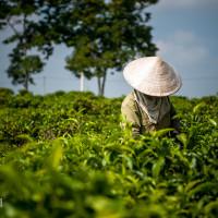 Vietnam, Bao Loc. Tea plantations, DSC_3541
