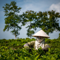 Vietnam, Bao Loc. Tea plantations, DSC_3551