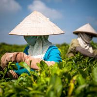 Vietnam, Bao Loc. Tea plantations, DSC_3559