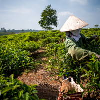 Vietnam, Bao Loc. Tea plantations, DSC_3576