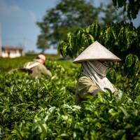 Vietnam, Bao Loc. Tea plantations, DSC_3588