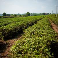 Vietnam, Bao Loc. Tea plantations, DSC_3626