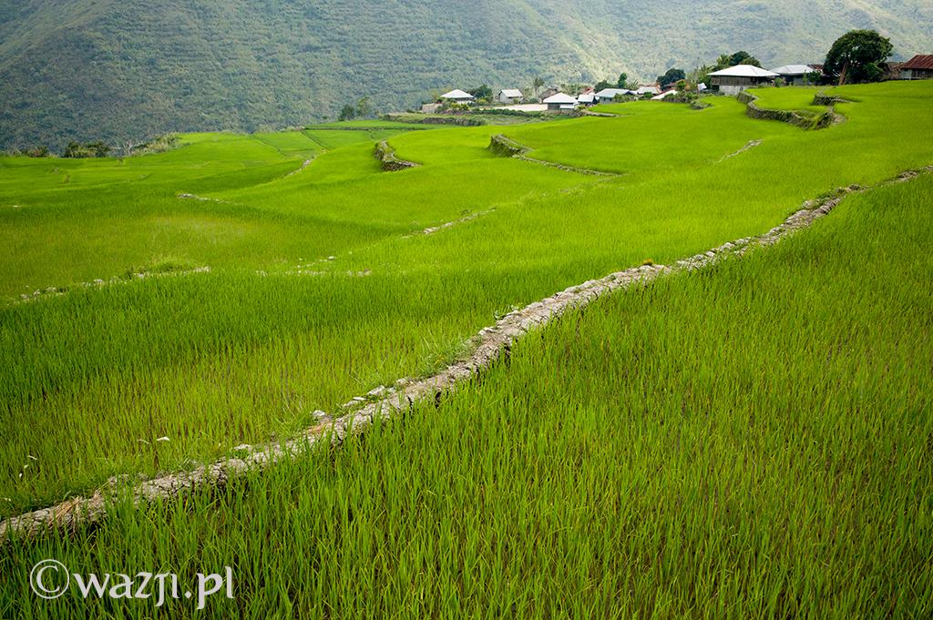 Filipiny, Kalinga. Zielone pora ryżowe wokół wioski Buscalan. Przepiękne. Wcześniej widziałam je tylko podczas pory sadzenia ryżu. (kwiecień 2014)