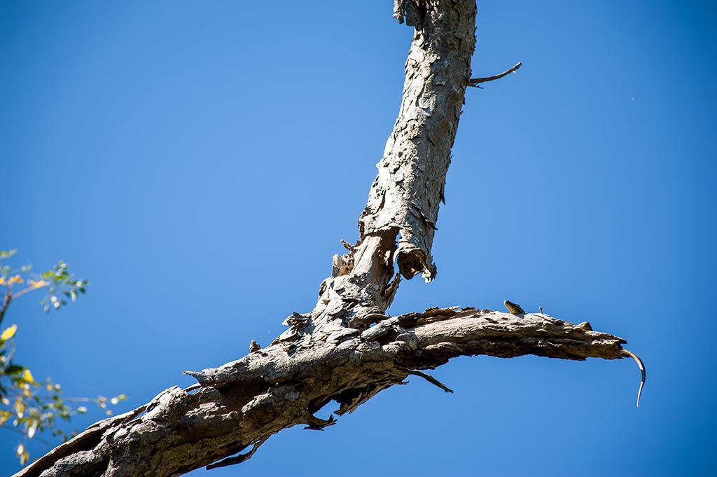 Młody waran musi mieszkać wysoko na drzewach. Tak, aby nie zjedli go rodzice lub dalsza rodzina.