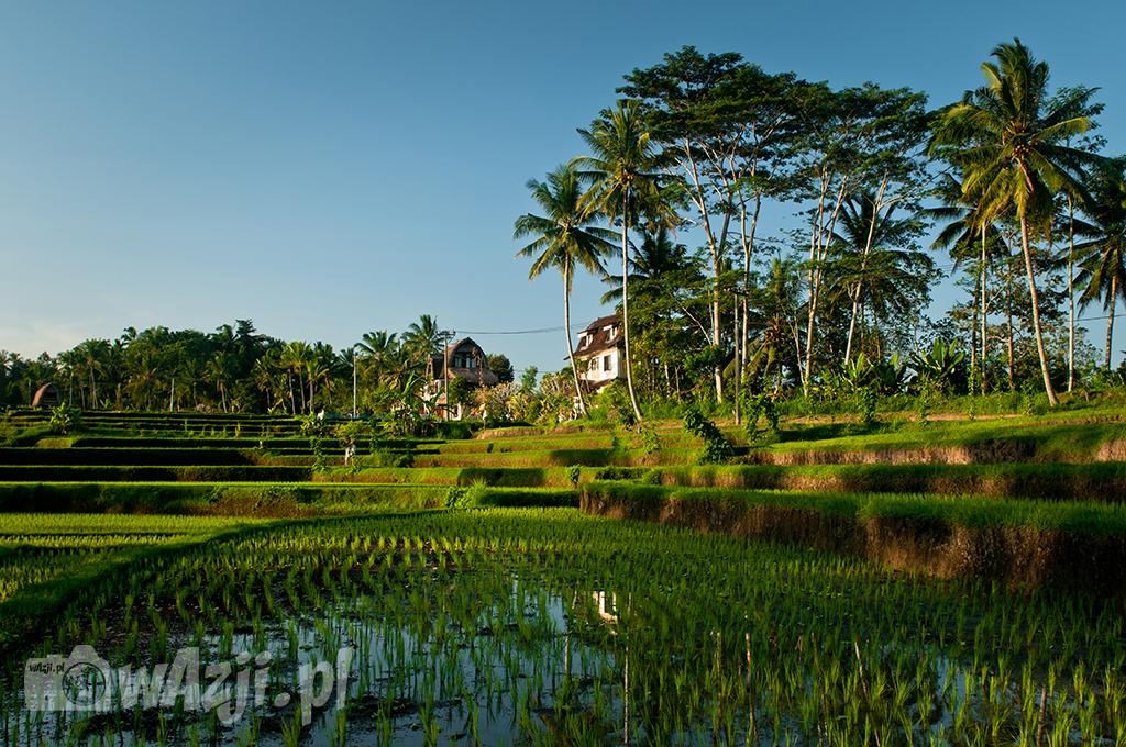 Pola ryżowe w okolicy Campuan, Ubud.