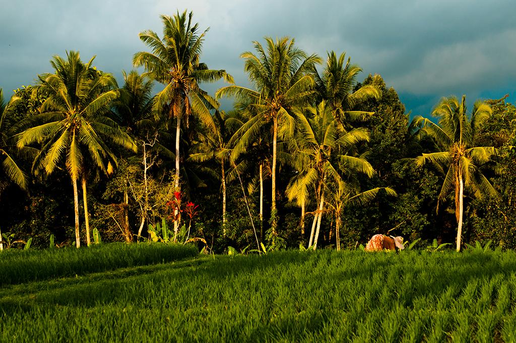 Pola ryżowe w okolicy Ubud