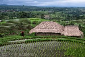 Miejsca na Bali: pola ryżowe Jatiluwih