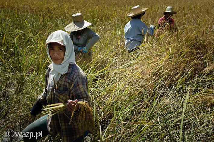 Ryżowe żniwa w Hapao