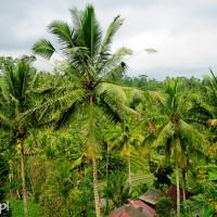 Bali 2008. Zachwyca zieleń pól ryżowych i palmy.