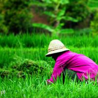 Bali 2008. Patrzymy jak rośnie ryż.