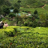 Sri_Lanka_zdjecia_plantacje_herbaty_Nuwara_Eliya, DSC_3931