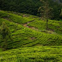 Sri_Lanka_zdjecia_plantacje_herbaty_Nuwara_Eliya, DSC_3943