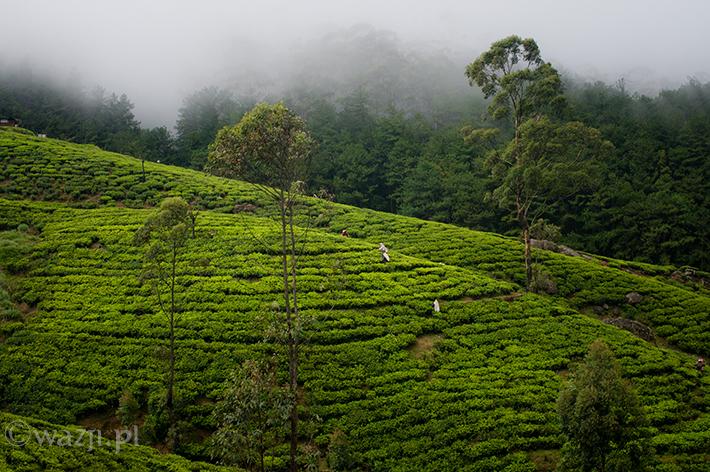 Herbaciane ciekawostki ze Sri Lanki