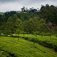 Sri_Lanka_zdjecia_plantacje_herbaty_Nuwara_Eliya, DSC_3948