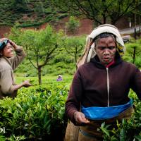 Sri_Lanka_zdjecia_plantacje_herbaty_Nuwara_Eliya, DSC_3962