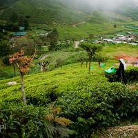 Sri_Lanka_zdjecia_plantacje_herbaty_Nuwara_Eliya, DSC_3983