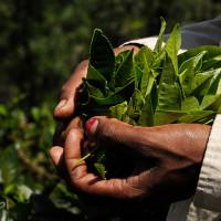 Sri_Lanka_zdjecia_plantacje_herbaty, DSC_4065_srilanka_ella