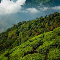 Indie_Kerala_Munnar_plantacje_herbaty, DSC_3622