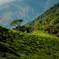 Indie_Kerala_Munnar_plantacje_herbaty, DSC_3652