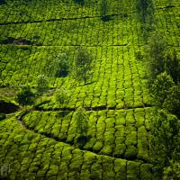 Indie_Kerala_Munnar_plantacje_herbaty, DSC_3788