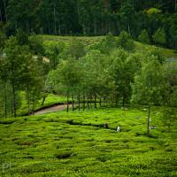 Indie_Kerala_Munnar_plantacje_herbaty, DSC_3852