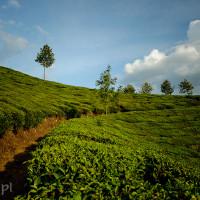 Indie_Kerala_Munnar_plantacje_herbaty, DSC_3970