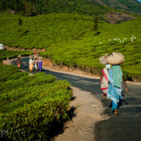 Indie_Kerala_Munnar_plantacje_herbaty_ludzie, DSC_4336