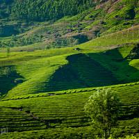 Indie_Kerala_Munnar_plantacje_herbaty, DSC_4371