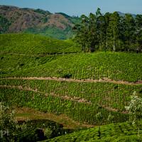 Indie_Kerala_Munnar_plantacje_herbaty, DSC_4403